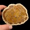 Zkamenělé dřevo, Pinopsida (3)