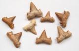 Žraločí zub fosilní Lamna (Otodus) obliquus