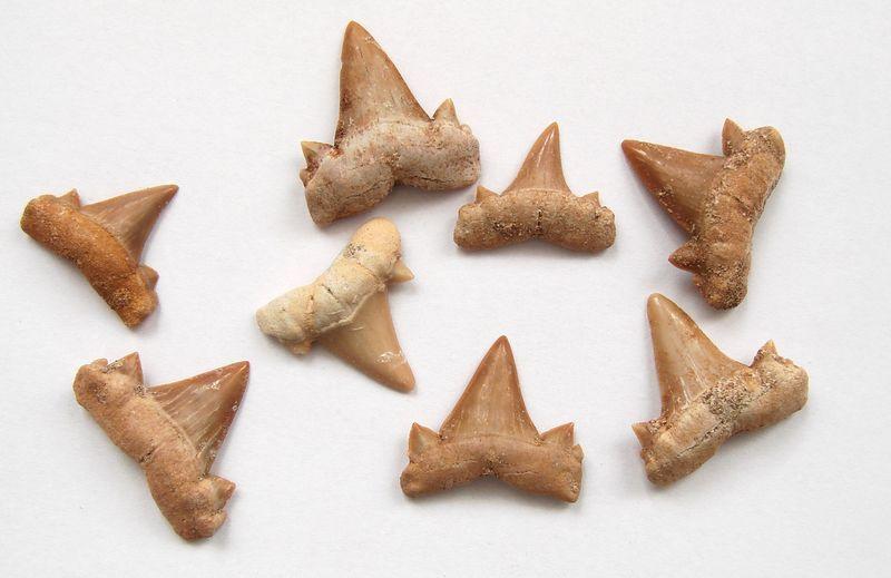 Zkamenělý žraločí zub 2 - 3,5cm (2)