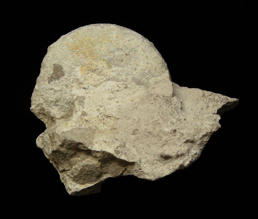 Amonit Glochiceras - Polsko (8)
