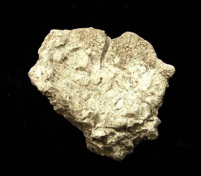 Fosilní houba Platychonia vagans - Polsko (3)