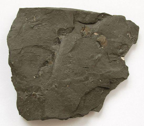Fosilní brachyopod Keratothyris sp. - Německo, Franken Jura (3)