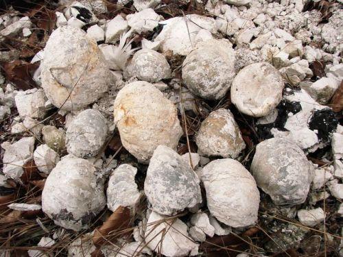 Nález schránek fosilních ústřic druhu Pycnodonta vesicularis