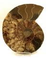Amonit Cleoniceras cleon, leštěný řez velký