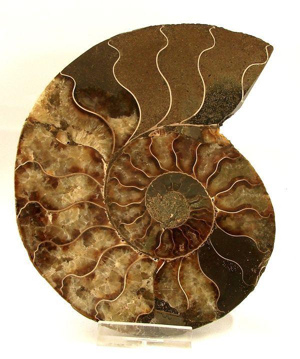 Řez amonitem Cleoniceras cleon - Madagaskar (11)