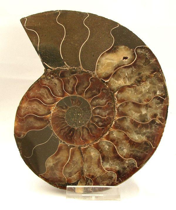Řez amonitem Cleoniceras cleon - Madagaskar (12)