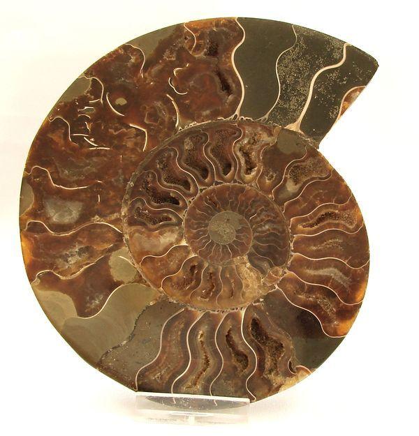 Řez amonitem Cleoniceras cleon - Madagaskar (5)